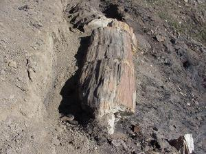 Metasequoia log, Stenkul Fiord, Ellesmere Island (photo by Anne Jefferson)
